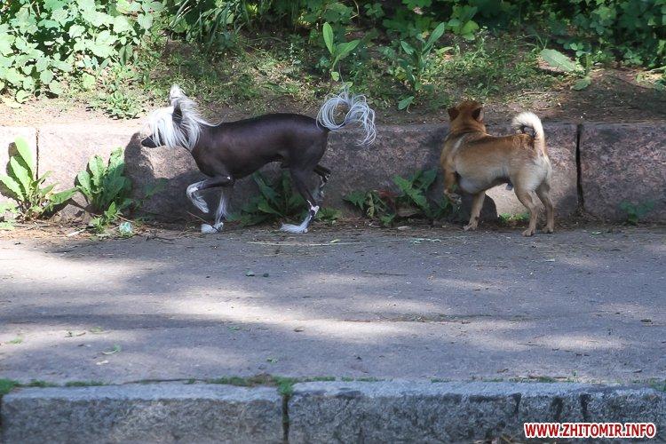 Vigyl sobak 35 - Яких собак вигулюють зранку житомиряни на Крошні, в сквері та парку. Фоторепортаж