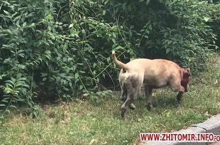 2017 07 12zagriz sob w440 h290 - У сквері в центрі Житомира погризлися дві собаки, постраждав чоловік