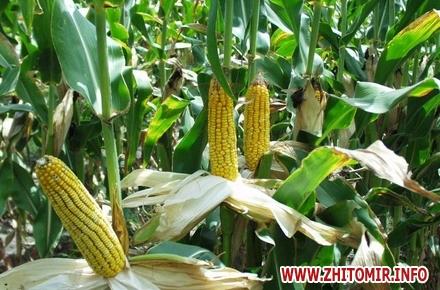 2017 08 29corn 02 w440 h290 - Ще в одному районі Житомирської області виявили кукурудзяного жука та запровадили карантин