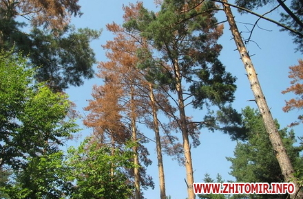 2017 09 19vSih 1 w440 h290 - У Житомирській області можуть оголосити надзвичайний стан через соснового шкідника