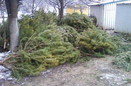 c33c92535353569215d9823293e6850e preview w440 h290 - У Малині вперше цьогоріч збиратимуть та утилізовуватимуть новорічні дерева містян