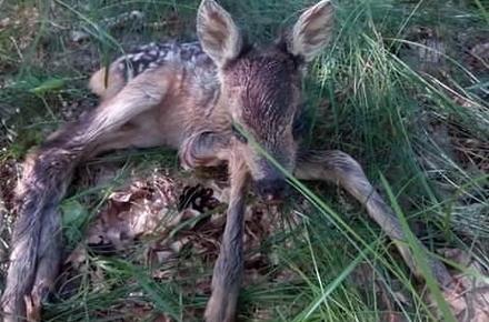7dcbc5d28d632c589baddb85c7821602 preview w440 h290 - Дитинча оленя, забране з лісу і віддане «у добрі руки» в Житомирській області, спробують повернути в природне середовище