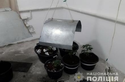 2f2958843926fc04f0d4c011cc681a2b preview w440 h290 - У Житомирській області поліція приїхала на виклик про хуліганство і розбите вікно, а виявила вазони з коноплею