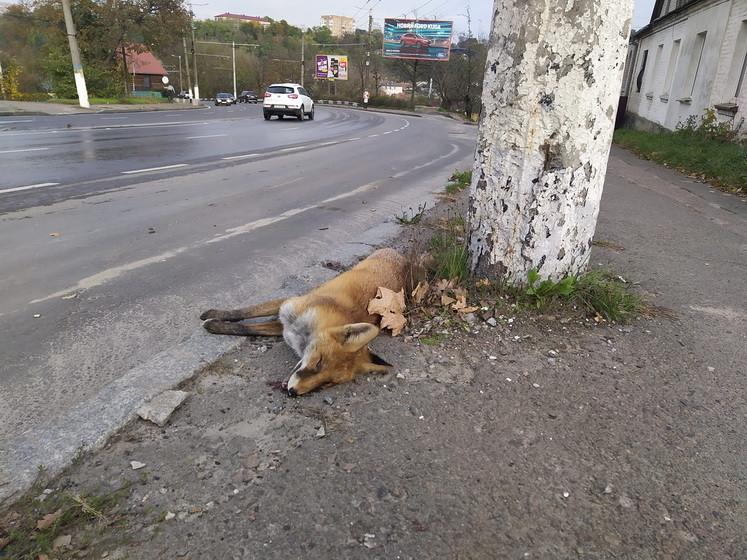 5f96d62414920 original w859 h569 - На Чуднівській у Житомирі знайшли мертву лисицю, фахівці кажуть, що «прогулянки» тварин у місті – нерідкість