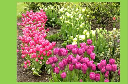 e53125a167e6e83cdeb7fad8b91d5c3e preview w440 h290 - Как правильно ухаживать за пионовидными тюльпанами?