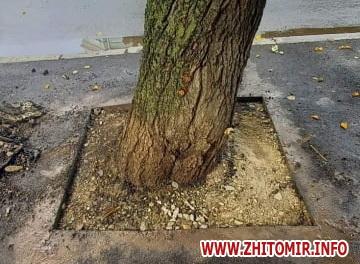 636adfa4dfca2418f2d724142190a485 preview w440 h290 - У Житомирі дерева, які стали жертвами ремонту на вулиці Ріхтера, розчистили від асфальту