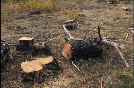 a326dc53528ae8f02172e8a63148f71a preview w440 h290 - У Житомирській області виявили незаконну рубку дерев, які знайшлися на приватній лісопильні: екологи нарахували понад 800 тис. грн шкоди